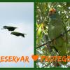 Papagaio-chauá ganha projeto de conservação no Brasil